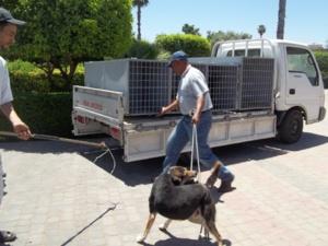 ظاهرة الكلاب الضالة بمراكش، كش24 تقدم الأحياء التي شملتها الحملة