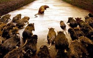 أمن مراكش يكتشف المئات من الفئران والجرذان بمنزل فرنسي