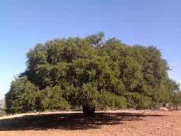 إقليم الصويرة .. الدورة الأولى لمهرجان حاحا - تمانار تحتفي بشجرة أركان