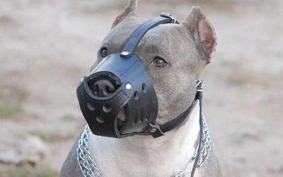 خاص: كلب بيتبول يشارك في مارطون مراكش + صورة حصرية