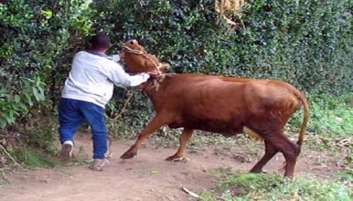 سرقة أبقار من ضيعة فلاحية نواحي قلعة السراغنة