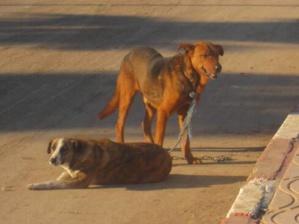 هذه حصيلة حملة القضاء على الكلاب الضالة باحياء السعادة والازدهار بمراكش
