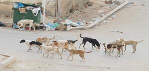 الكلاب الضالة بمراكش تهدد سلامة سكان أحياء لمحاميد
