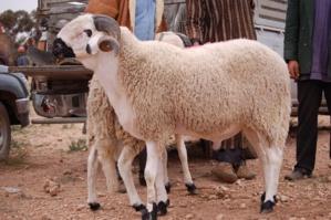 بمراكش: الشناقة يهددون أسواق الأكباش والمواطنون يطالبون بلجان مراقبة