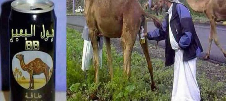 منظمة الصحة تحذر من شرب بول الإبل