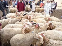 هذه هي نصائح المكتب الوطني للسلامة الصحية للمنتجات الغذائية للمغاربة بخصوص اقتناء وذبح أضحية العيد