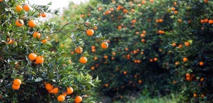 لهذا السبب تم منع دخول البرتقال المغربي لأمريكا