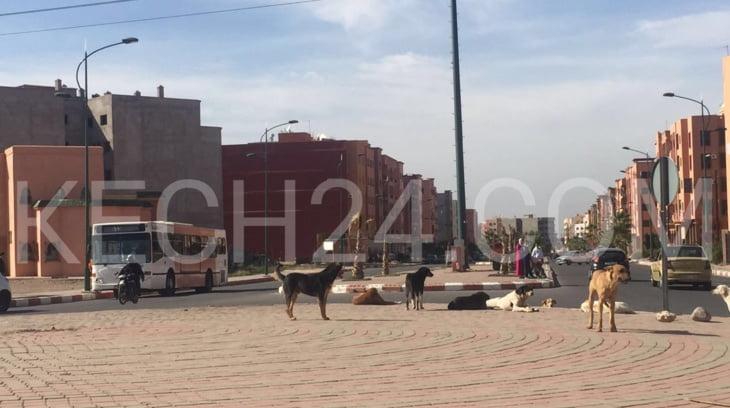 الكلاب الضالة تغزو شوارع وأحياء مراكش وتؤرق بال المواطنين في انتظار تدخل السلطات