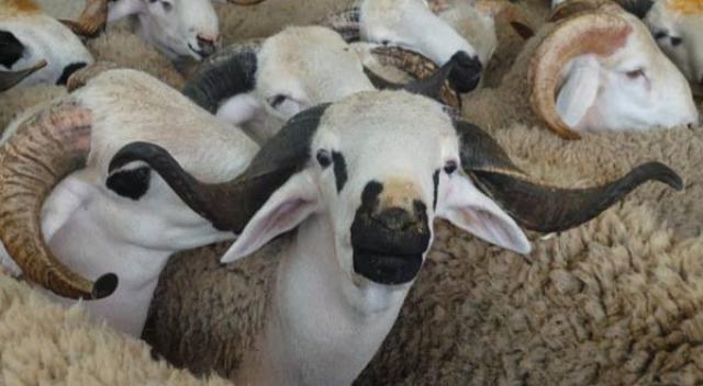 سلطات مليلية تمنع إستيراد أضاحي العيد من المغرب لهذا السبب