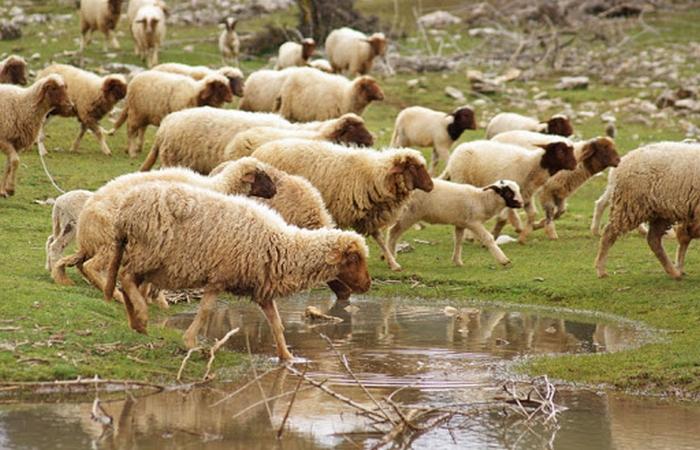 استياء في أوساط مزارعي إقليم الحوز بسبب استثناء قطعانهم من الحملة الوطنية للتلقيح ضد التسممات