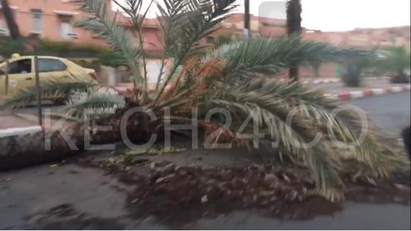 بسبب العاصفة الرعدية سقوط نخلة بشارع مولاي عبد الله بمراكش