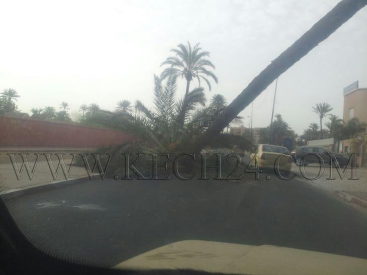 سقوط نخلة يعرقل حركة المرور بزنقة الراوية بحي جليز بمراكش + صورة