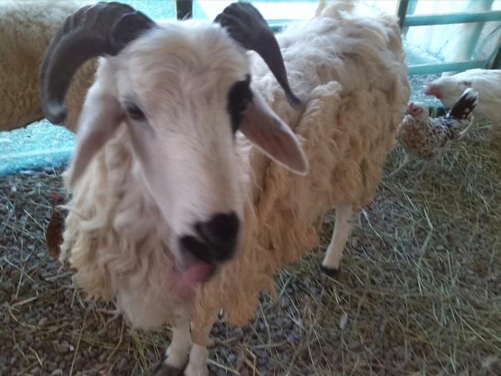 زوجة تعتدي على شريك حياتها ليلة العيد بعدما جلب لها خروفا لم يعجبها