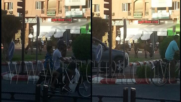 الحمير ترعى في فضاء أخضر بشارع في مراكش قبيل أسابيع من