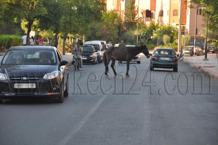 البغال تختلط بالسيارات في شوارع مراكش قبيل أسابيع قليلة من