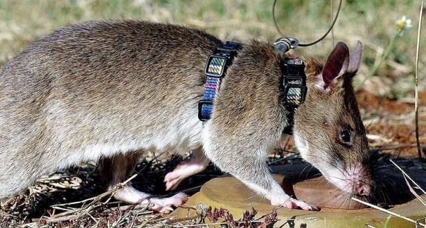 الكشف عن فئران أفريقية ضخمة للكشف عن الألغام