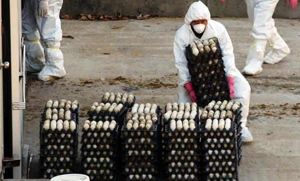 إعدام أكثر من 30 مليون من الدواجن خلال أقل من 50 يوما بسبب أنفلونزا الطيور