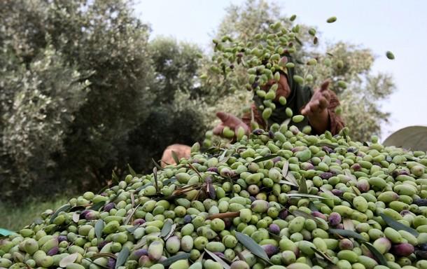 إنتاج أزيد من 300 ألف طن سنويا من الزيتون بجهة مراكش- آسفي