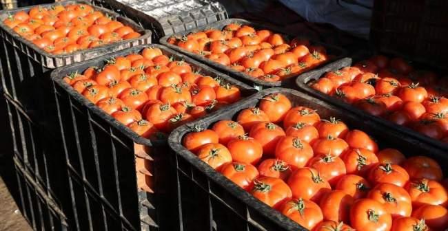 السلطات الروسية تمنع دخول 37 طن من طماطم المغرب