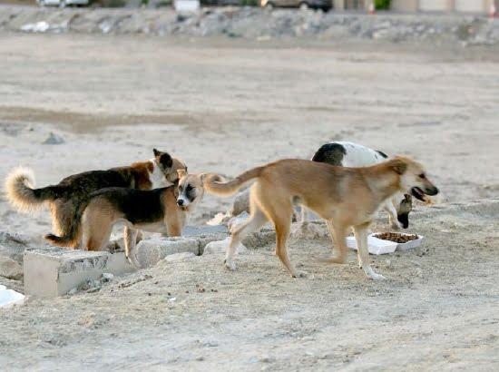 السلطة المحلية تشن حملة ضد الكلاب الضالة بإمنتانوت
