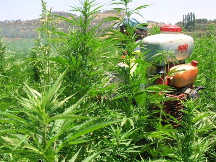 المغرب يتجه نحو القضاء النهائي على زراعة الكيف