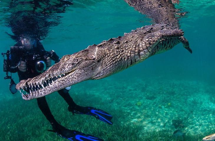 بالصور.. مغامر جريء يتحدى الخوف ويسبح مع تمساح!
