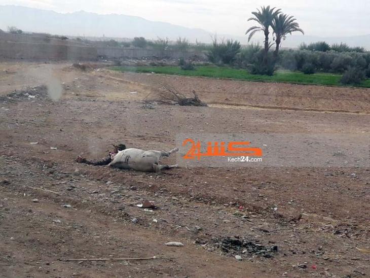الكلاب الضالة تفترس دابة ضواحي مراكش على طريقة الضباع أمام أنظار الجميع + صور