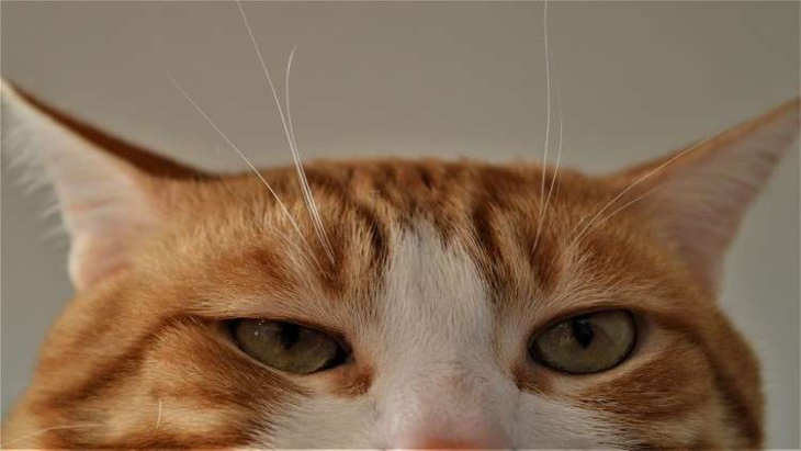 القط المدلل