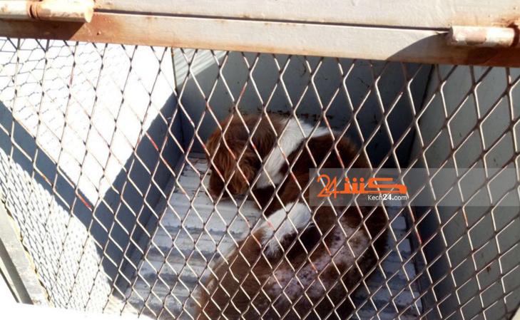 المكتب الجماعي لحفظ الصحة يشن حملة ضد الكلاب الضالة بمراكش