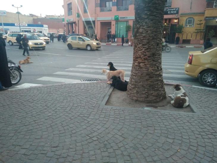 الكلاب الضالة تحتل مداخل ساحة جامع الفنا بمراكش + صور