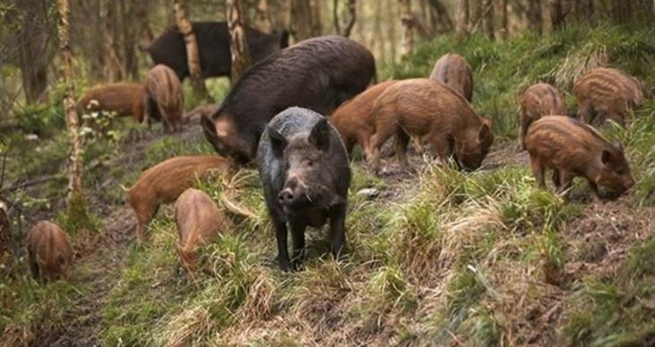 الخنازير البرية تهاجم قرية بنواحي مراكش والسكان يدقون ناقوس الخطر