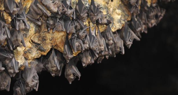 علماء يجيبون على سؤال محير حول الوطواط مصاص الدماء