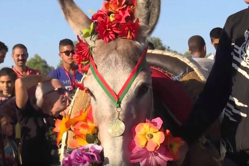 سابقة: مهرجان الحمار  بالمغرب ينصف الأنثى للمرة الأولى!