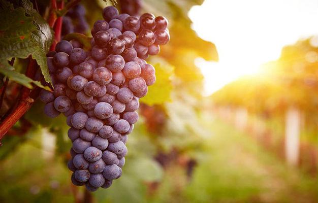فوائد العنب الاحمر: مضاد للأكسدة قوي يحمي من الأمراض