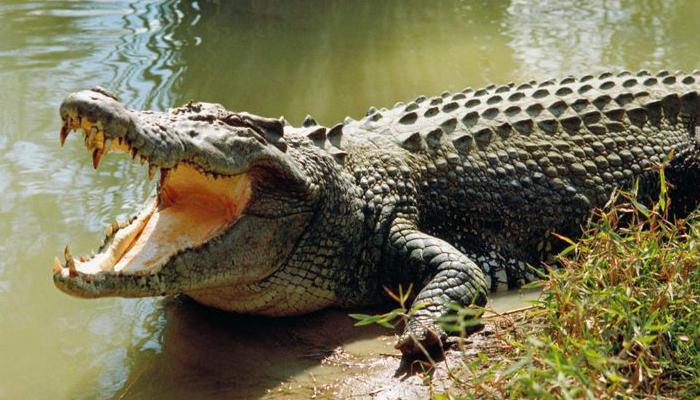تمساح يفترس أخطر كلب في العالم أمام أعين صاحبته + فيديو