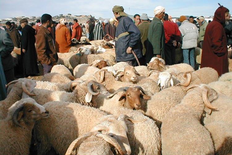 وزارة الفلاحة تتوقع تداول 12 مليار درهم في اسواق الاضاحي