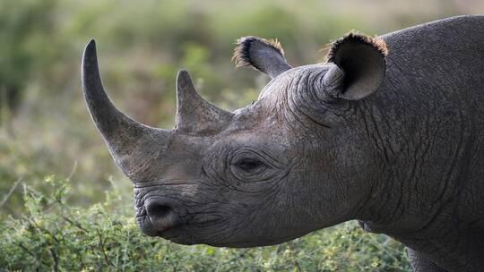 قرن اصطناعي لحماية وحيد القرن من الإبادة