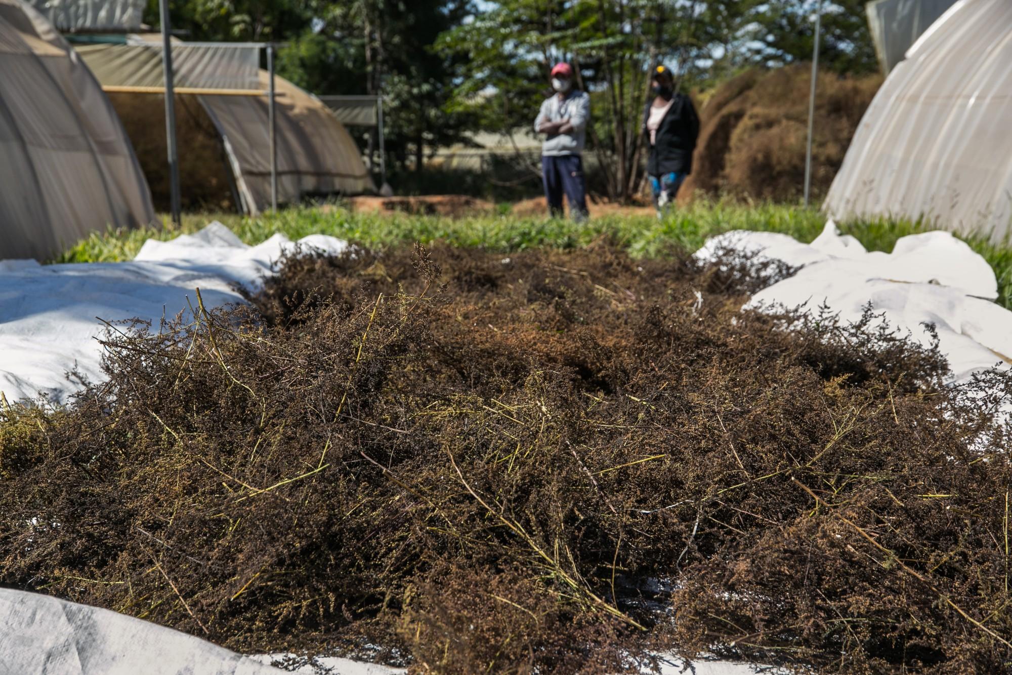 منظمة الصحة العالمية تقر بروتوكولا لاختبار الأعشاب لعلاج كوفيد 19