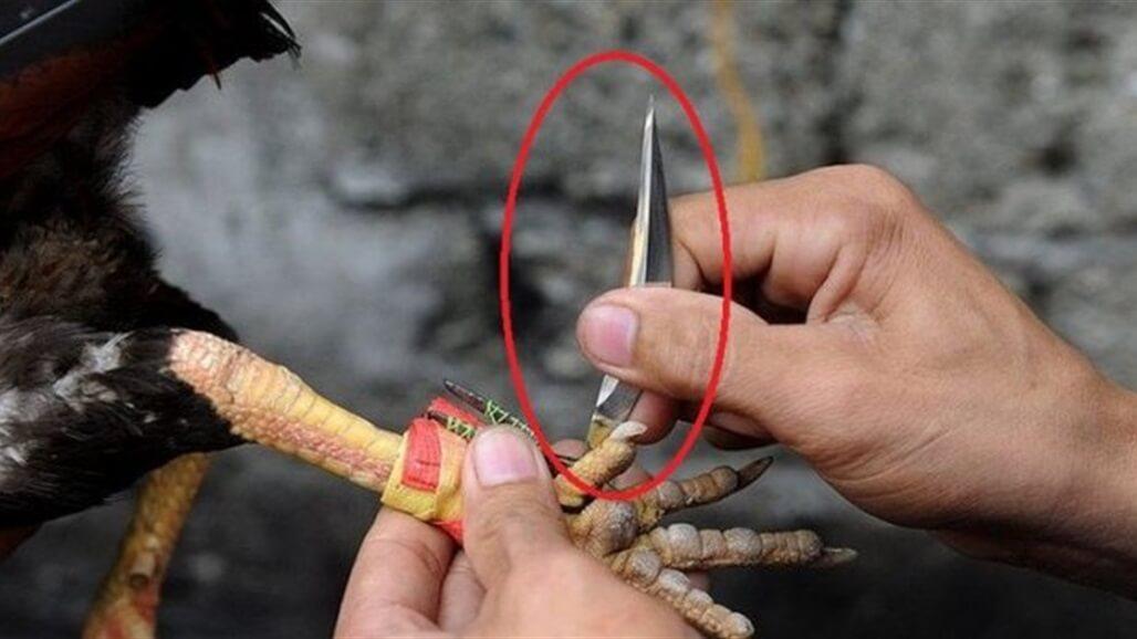 """ديك """"يطعن"""" رجلا هنديا بسكين حتى الموت"""