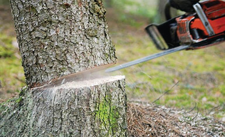 إتهام المياه والغابات بالتورط في إعدام أشجار عمرها 74 عاما